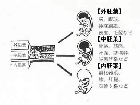 $弾ける笑顔 クオーレテラピー-三胚葉